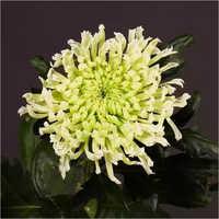 Chrysanthemum Hestia Star  Plant