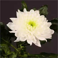 Chrysanthemum Laika Flower Plant
