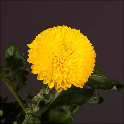 Chrysanthemum Poladov Flower Plant