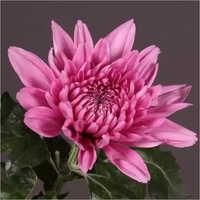 Chrysanthemum Resomee Flower Plant