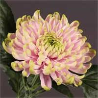 Chrysanthemum Charlotte Flower Plant