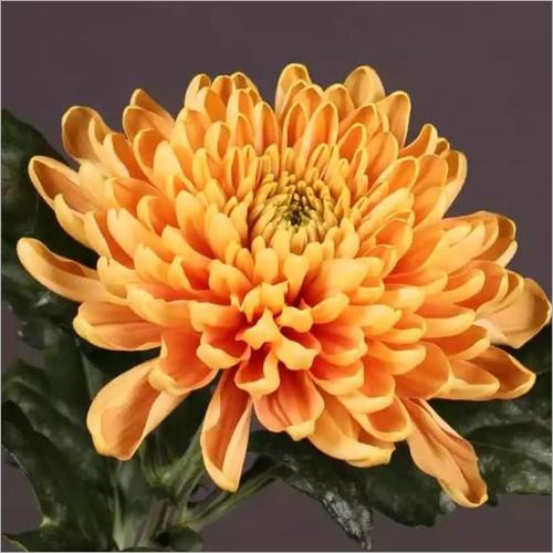 Chrysanthemum Rossano Flower Plant