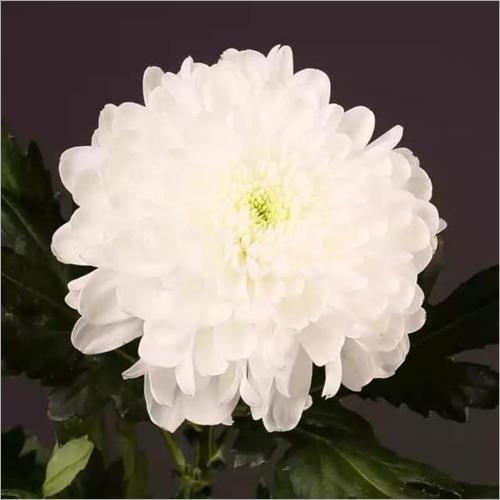 Chrysanthemum Zembla Flower Plant