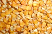 Yellow Maize For Cattle Feed