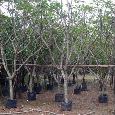 Tropical Plumeria Plant