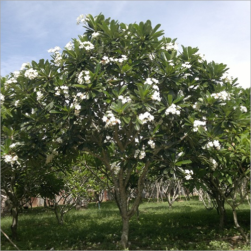 Frangipani Plant