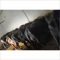 Haryana Murrah Buffalo