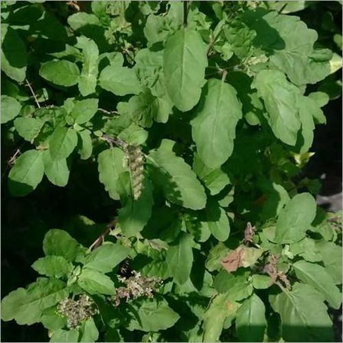 Green Rama Tulsi