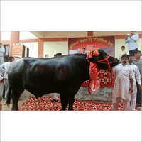 Indian Murrah Bull