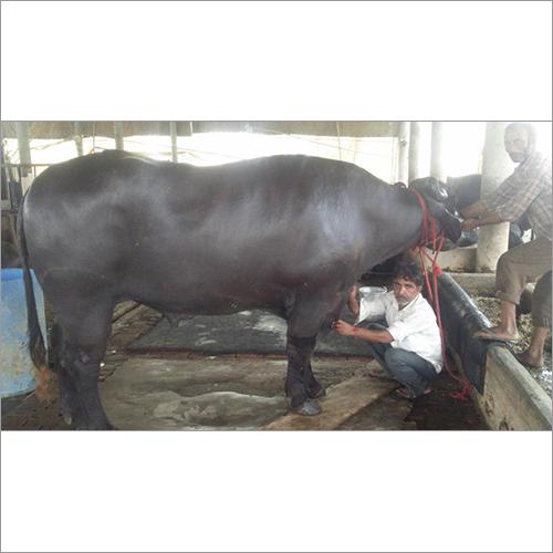 Black Murrrah Bull