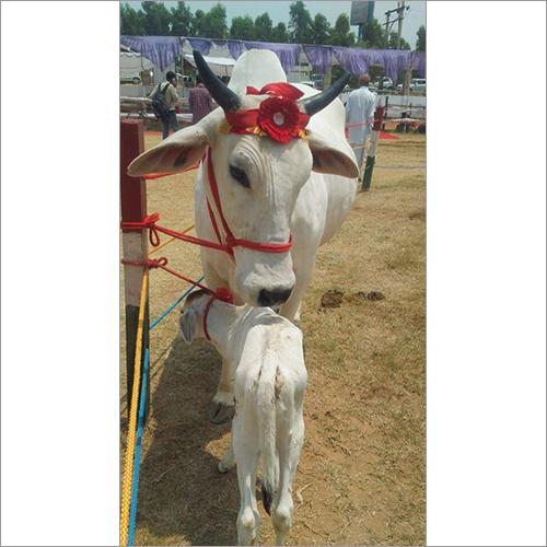 White HF Cow