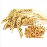 Orgnic Wheat