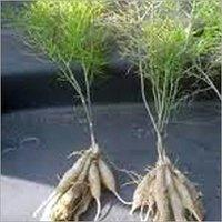 Shatavari Plants