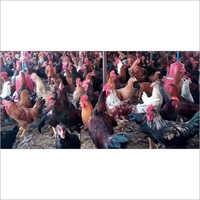 Asil Desi Chicken