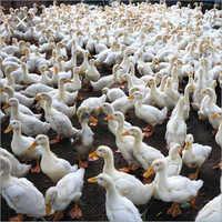 Duck Chicken