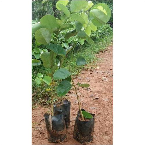 Red Sandalwood Plant Seed