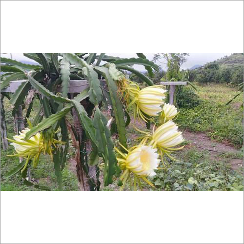 Fresh Dragon Fruit Plants