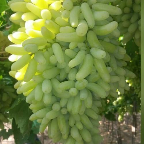 KGCPL Super Sonaka Grapes