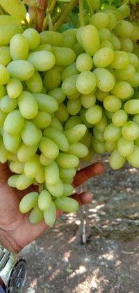 KGCPL Super Sonaka Grapes