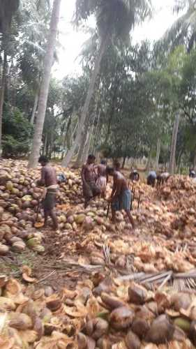 Indian Cultivated Fresh Coconut