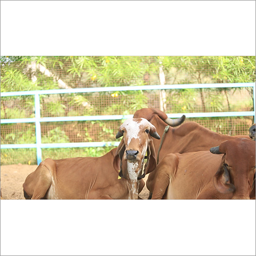 Desi Gir Cow