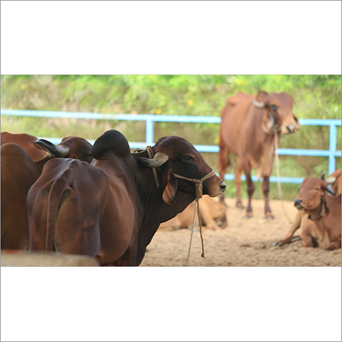 Bull Gir Cow