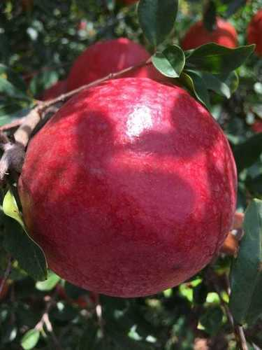 2020 Crop Dark Red Pomegranate