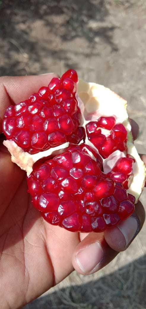 2020 Crop Dark Red Pomegranate