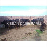 Murrah buffalo Dairy farm
