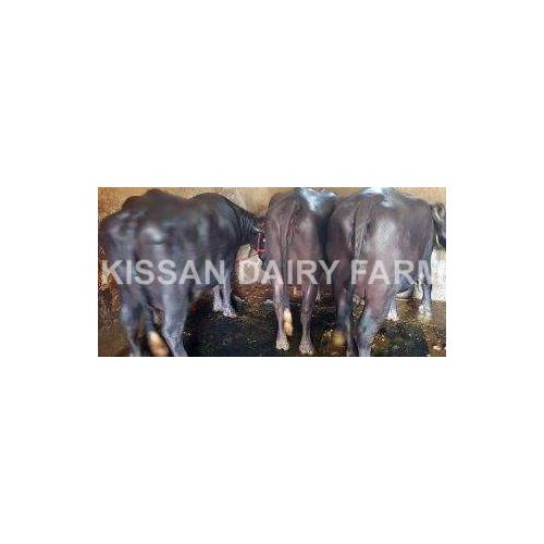 Pregnant Murrah Buffalo