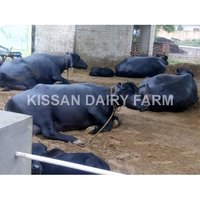 High Milking Murrah buffalo