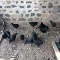 Kadaknath Live Chicken