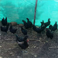 Black Kadaknath Chicken