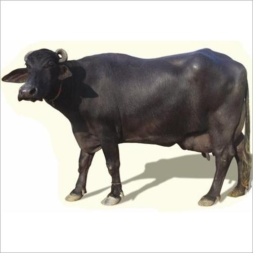 Desi Murrah Buffalo