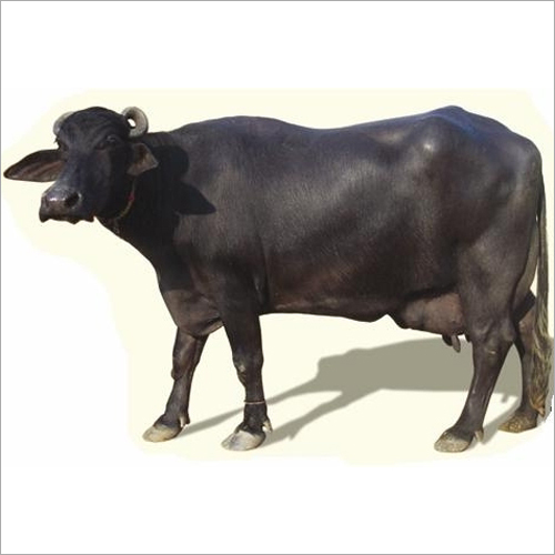 Desi Murrah Buffalo