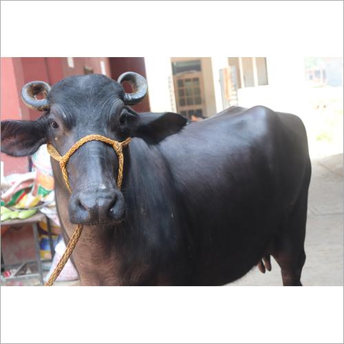 Dairy Murrah Buffalo
