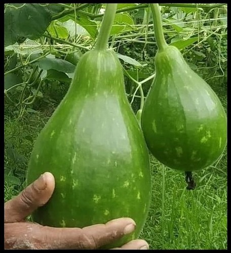 Bottle Gourd F1 Samrat