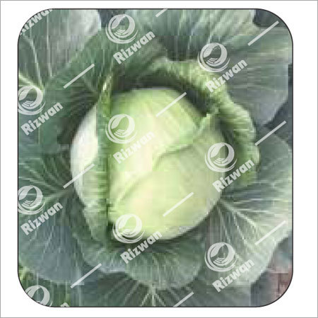 Cabbage F1 Jasmin-50