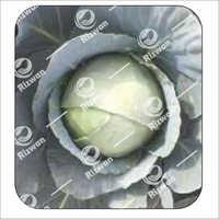 Cabbage F1 Megna