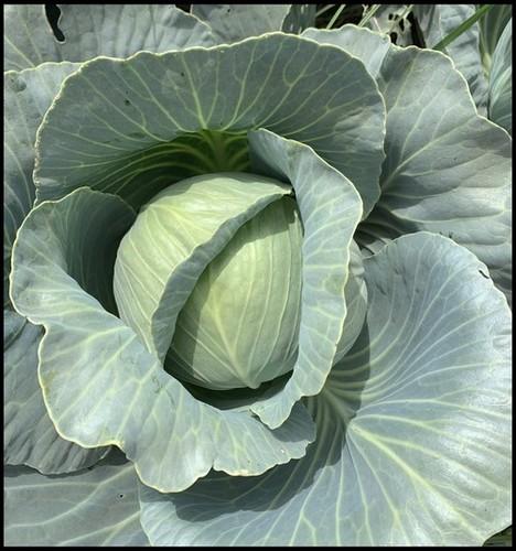 Cabbage F1 Flourish