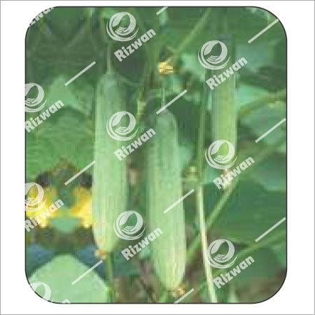 Cucumber F1 Green Star-2535