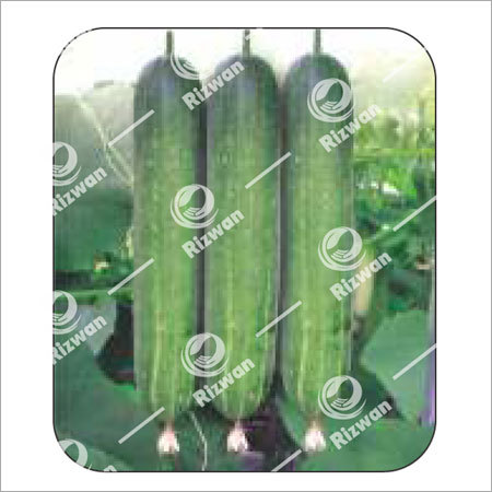 Cucumber F1 Bilal(Imp
