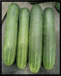 Cucumber F1 Solar