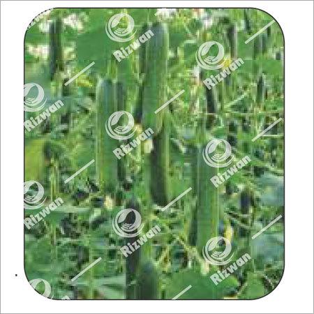 Cucumber F1 Seven Star (Seedless)