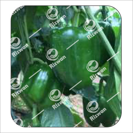 Capsicum F1 Green Lilly