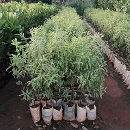 Sandalwood Tree & Roots