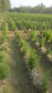 Yellow Shatavari Plant