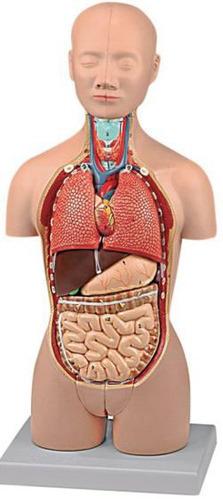 Biology Anatomy Models