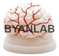 BRAIN WITH SKULL
