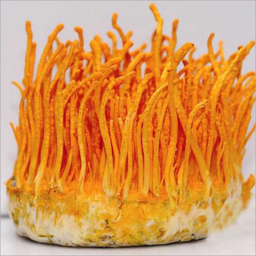 Pure Herbal Cordyceps Militaris